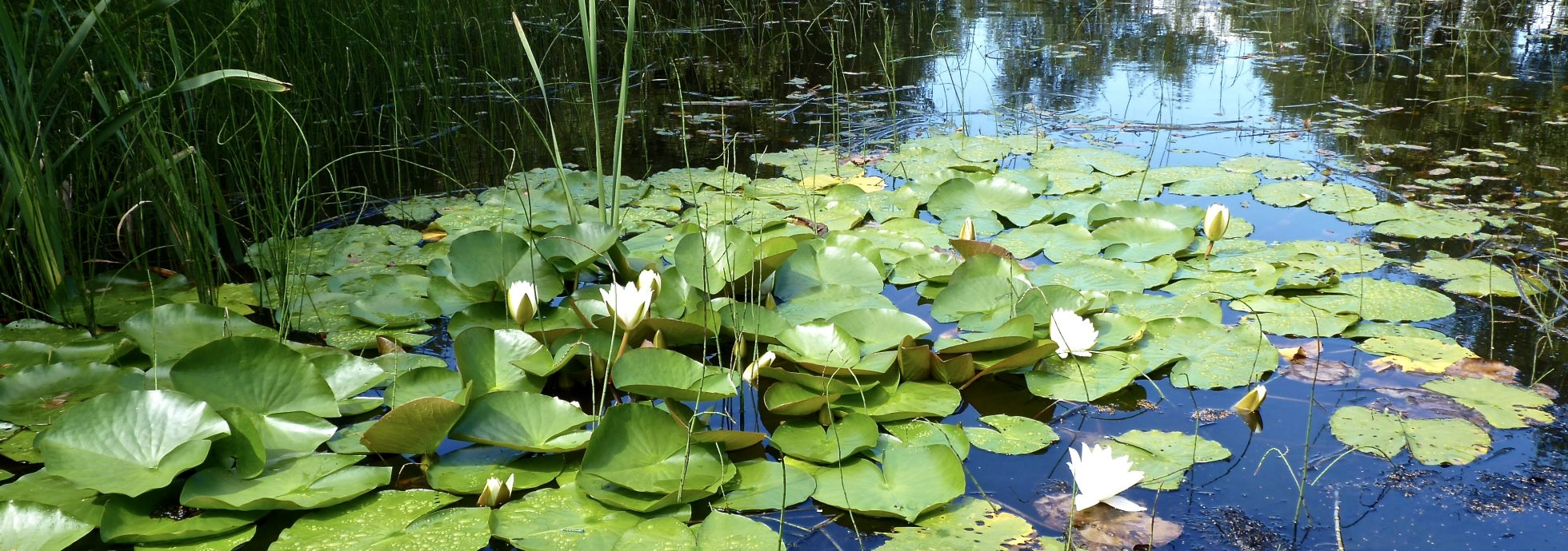 Lily Pond Trem-y-Fro Glamping Vale of Glamorgan